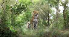 """""""الفهد الغادر"""" عبر كل الأسوار.. وقتل طفلا وسط أهله"""