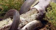 بالصور.. أفعى تبتلع تمساحا ضخما بطريقة مذهلة
