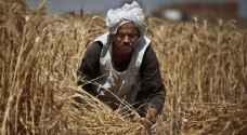 مصر تشتري 290 ألف طن من القمح الروسي والروماني