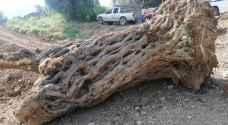 ضبط شخصين اعتديا على أشجار زيتون معمرة في عجلون - صور