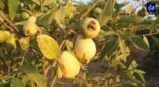 مزارع مادبا تنتج ثلث محصول المملكة من الجوافة.. فيديو