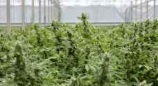 """بريطانيا: """"الرائحة"""" تكشف مزرعة حشيش بـ12 مليون دولار"""