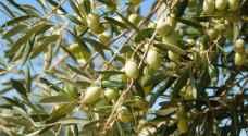 الزراعة تمنع تصدير الزيتون