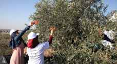 المستوطنون يهاجمون قاطفي الزيتون بالضفة الغربية