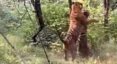 شاهد بالفيديو..  شجار عنيف بين نمرين في الهند