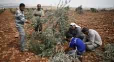 المستوطنون يواصلون سرقة زيتون الفلسطينيين