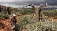 مستوطنون يرتكبون مجزرة بحق 60 شجرة زيتون جنوب نابلس