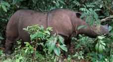 حزن في ماليزيا بعد نفوق آخر أنثى وحيد قرن