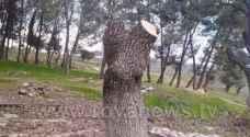 """قطع أشجار عمرها """"عشرات السنين"""" في اربد من أجل """"التدفئة"""".. فيديو وصور"""
