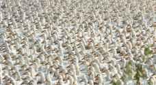100 ألف بطة من الصين لمكافحة الجراد في باكستان