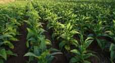 """شركة """"سجائر"""" بريطانية تعلن الاقتراب من إنتاج لقاح ضد كورونا"""
