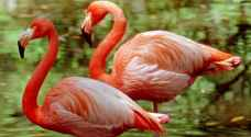 طيور الفلامينغو ومالك الحزين تستعيد موطنها بفضل كورونا