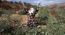 الاحتلال يجرف نحو 15 دونما مزروعة بالزيتون في الضفة