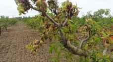الزراعة تحذر الأردنيين من شراء فاكهة لم تنضج في الأسواق