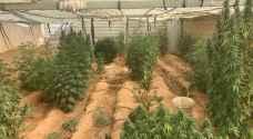 القبض على شخص قام بزراعة أشتال ماريجوانا في البادية الوسطى - صور