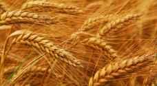 الوطني للبحوث الزراعية يستنبط أصنافا محسنة من القمح والشعير