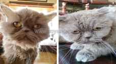 """المحامي الشواهين يكشف لرؤيا تفاصيل رفع سيدة أردنية دعوى قضائية لتضرر قطتيها """"نفسيا"""".. صور"""