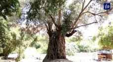 مبادرة للحفاظ على أشجار الزيتون المعمرة في لواء الكورة - فيديو