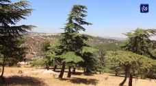 الوحيدة في الأردن.. غابة أرز في جرش - فيديو