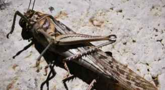 """وزارة الزراعة: الجراد الموجود على أرض السعودية يتم مكافحته والحشرة لم تتطور """"للحوريات"""""""