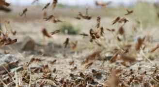 """""""الزراعة"""" تكافح سرب جراد يغطي 3 كم جنوب الأردن - صور"""
