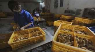 """بعد كورونا.. أول إصابة بإنفلونزا الطيور """"H5N6"""" في الصين"""