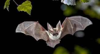 اكتشاف فيروس كورونا جديد لدى خفافيش بريطانية