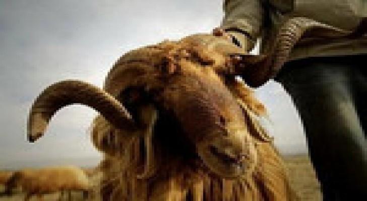 تصدير 550 الف خروف للاسواق الخليجية منذ مطلع العام