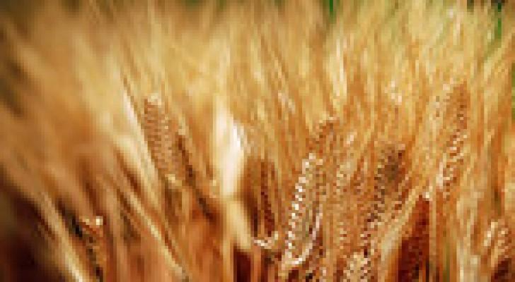 5 ملايين دينار دعم غير مباشر للقمح