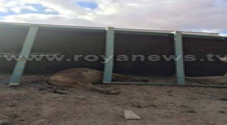 إصابة بإنقلاب شاحنة بالكرك ونفوق 4 جواميس