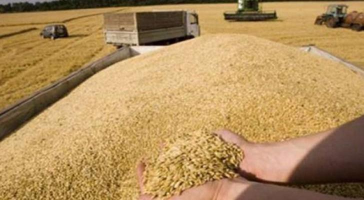 الزراعة: الأحد آخر موعد لاستلام القمح والشعير من المزارعين
