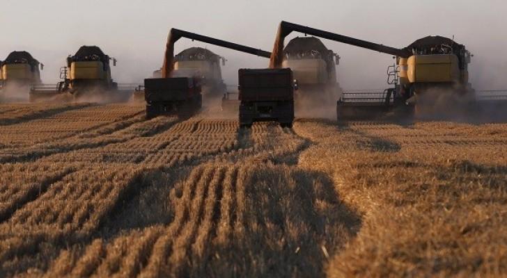 حقول القمح الروسية