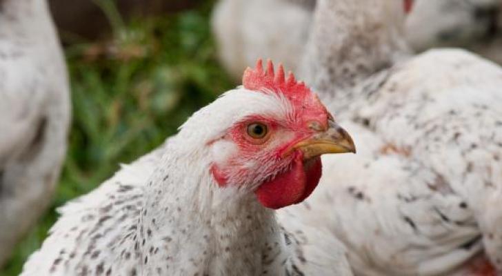 دجاج - ارشيفية