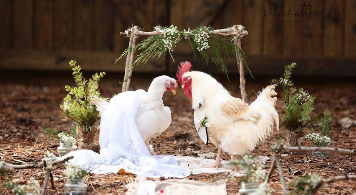حفل زفاف كامل لدجاجة وديك