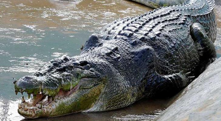 تمساح - ارشيفية