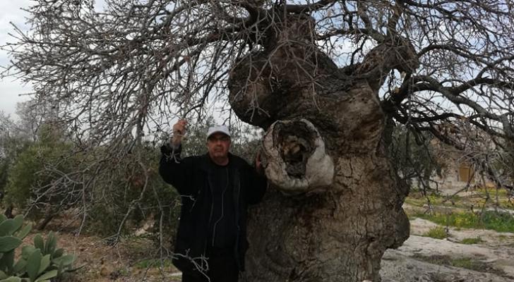 الشجرة تقع في مدينة اربد شمالي المملكة