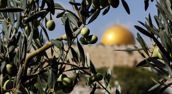 زيتون القدس - ارشيفية