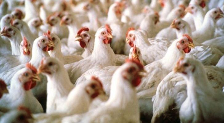 دجاج - أرشيفية
