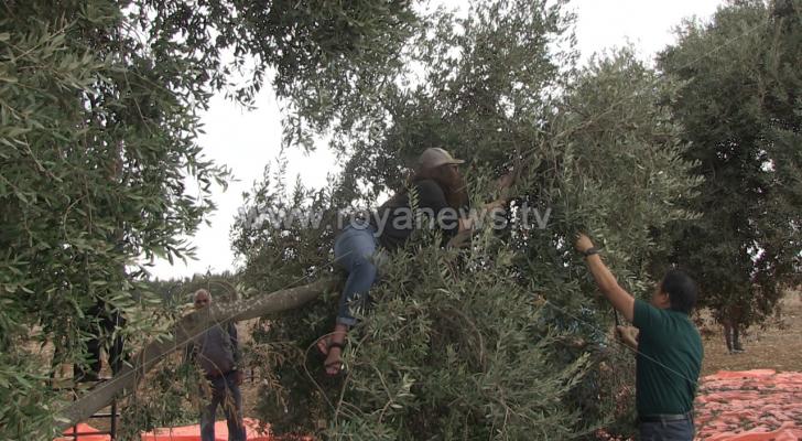 متطوعون من الولايات المتحدة يشاركون في قطاف الزيتون في اربد