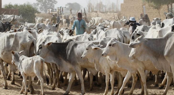 أبقار نيجيريا