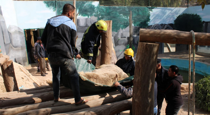 الدفاع المدني يساعد بنقل دب لإجراء عملية جراحية له في حديقة غمدان للحيوانات