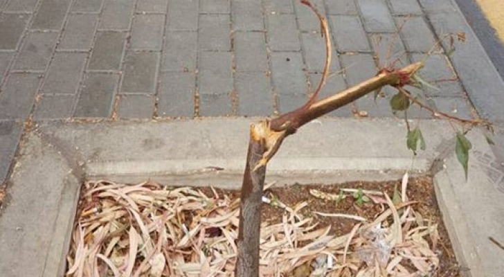 مجهولون يقطعون أشجاراً في عمان