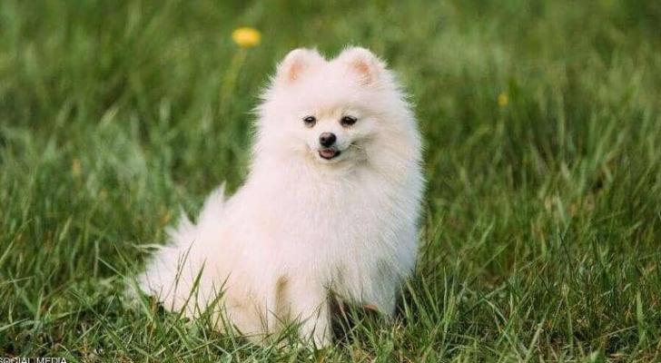 """الكلب النافق من فصيلة """"بومرينيان"""" ذات الشعر الكثيف"""