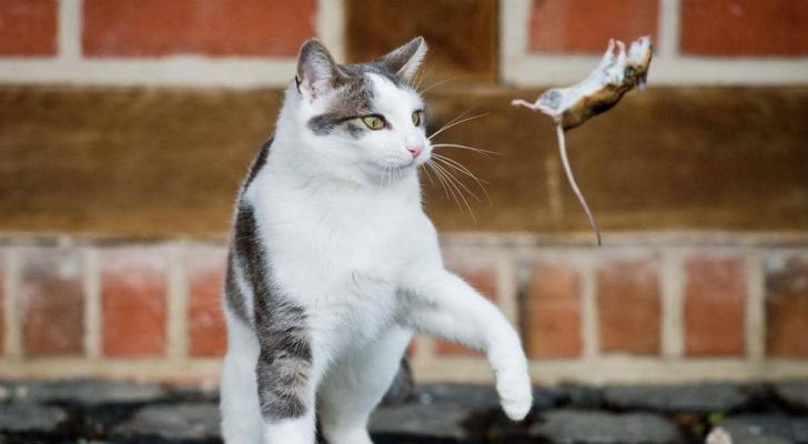 العلاقة متوترة بين القطط والفئران منذ آلاف السنين