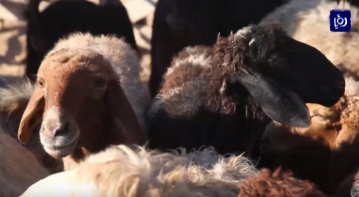 """""""الزراعة """": 450 ألف رأس من الأغنام مستوفية لشروط الاضحية في الأردن"""