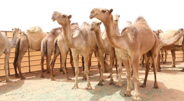 مسابقات جمال الإبل تشعل الطلب على استنساخها في الإمارات